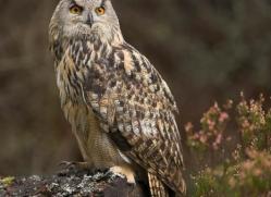 european-eagle-owl-001-northumberland-copyright-photographers-on-safari-com