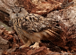 european-eagle-owl-004-northumberland-copyright-photographers-on-safari-com