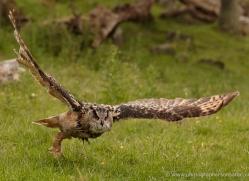 european-eagle-owl-007-northumberland-copyright-photographers-on-safari-com