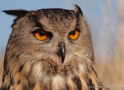 european-eagle-owl-008-northumberland-copyright-photographers-on-safari-com
