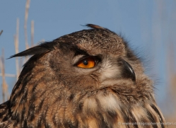european-eagle-owl-010-northumberland-copyright-photographers-on-safari-com