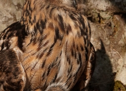 european-eagle-owl-014-northumberland-copyright-photographers-on-safari-com