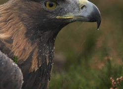 golden-eagle-043-northumberland-copyright-photographers-on-safari-com