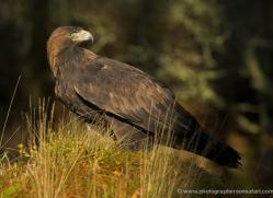 golden-eagle-045-northumberland-copyright-photographers-on-safari-com