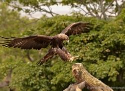 golden-eagle-049-northumberland-copyright-photographers-on-safari-com