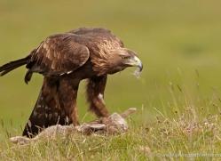 golden-eagle-052-northumberland-copyright-photographers-on-safari-com