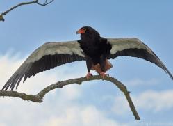 Bateleur Eagle 2014-1copyright-photographers-on-safari-com