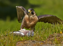 Peregrine Falcon 2014-1copyright-photographers-on-safari-com