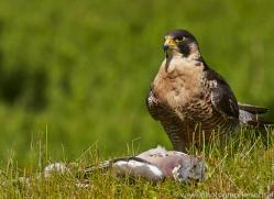 Peregrine Falcon 2014-2copyright-photographers-on-safari-com
