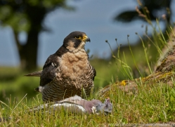 Peregrine Falcon 2014-3copyright-photographers-on-safari-com
