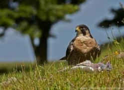 Peregrine Falcon 2014-4copyright-photographers-on-safari-com