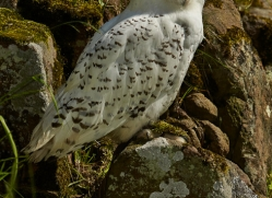 Snowy Owl 2014-1copyright-photographers-on-safari-com