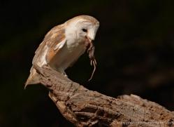 barn-owl-016-northumberland-copyright-photographers-on-safari-com