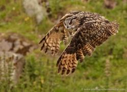 european-eagle-owl-005-northumberland-copyright-photographers-on-safari-com