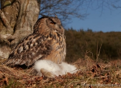european-eagle-owl-013-northumberland-copyright-photographers-on-safari-com