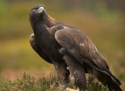 golden-eagle-039-northumberland-copyright-photographers-on-safari-com