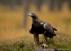 golden-eagle-042-northumberland-copyright-photographers-on-safari-com