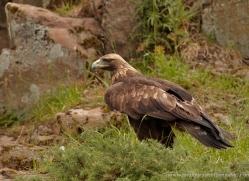 golden-eagle-046-northumberland-copyright-photographers-on-safari-com