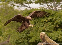 golden-eagle-048-northumberland-copyright-photographers-on-safari-com