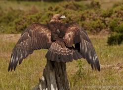 golden-eagle-055-northumberland-copyright-photographers-on-safari-com