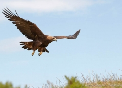 golden-eagle-057-northumberland-copyright-photographers-on-safari-com