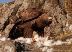 golden-eagle-059-northumberland-copyright-photographers-on-safari-com