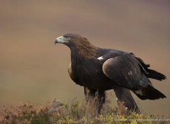 golden-eagle-060-northumberland-copyright-photographers-on-safari-com