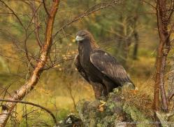 golden-eagle-064-northumberland-copyright-photographers-on-safari-com