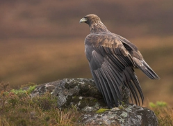 golden-eagle-065-northumberland-copyright-photographers-on-safari-com