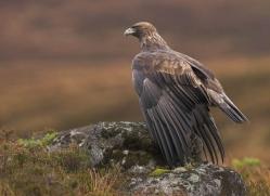 golden-eagle-065-northumberland-copyright-photographers-on-safari-com