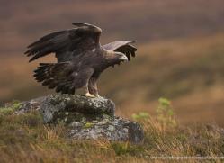 golden-eagle-066-northumberland-copyright-photographers-on-safari-com