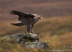 golden-eagle-067-northumberland-copyright-photographers-on-safari-com.jpg