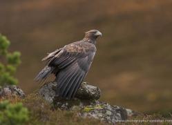 golden-eagle-068-northumberland-copyright-photographers-on-safari-com.jpg