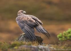 golden-eagle-069-northumberland-copyright-photographers-on-safari-com.jpg