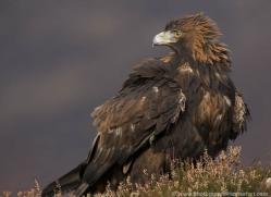 golden-eagle071-northumberland-copyright-photographers-on-safari-com.jpg
