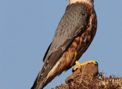 merlin-096-northumberland-copyright-photographers-on-safari-com