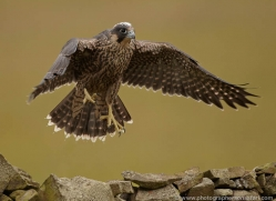 peregrine-falcon-020-northumberland-copyright-photographers-on-safari-com