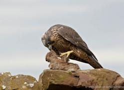 peregrine-falcon-022-northumberland-copyright-photographers-on-safari-com