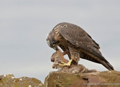 peregrine-falcon-023-northumberland-copyright-photographers-on-safari-com