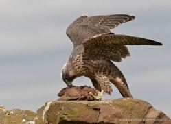peregrine-falcon-024-northumberland-copyright-photographers-on-safari-com
