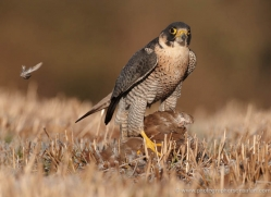 peregrine-falcon-026-northumberland-copyright-photographers-on-safari-com
