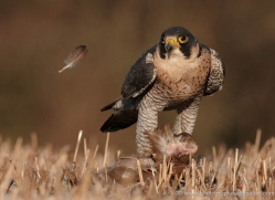 peregrine-falcon-027-northumberland-copyright-photographers-on-safari-com