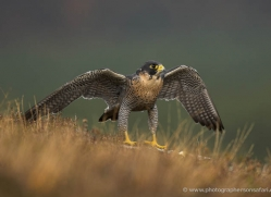 peregrine-falcon-030-northumberland-copyright-photographers-on-safari-com