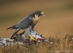 peregrine-falcon-031-northumberland-copyright-photographers-on-safari-com