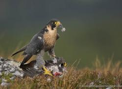 peregrine-falcon-032-northumberland-copyright-photographers-on-safari-com