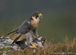 peregrine-falcon-033-northumberland-copyright-photographers-on-safari-com