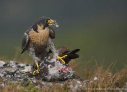 peregrine-falcon-034-northumberland-copyright-photographers-on-safari-com