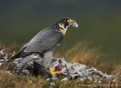 peregrine-falcon-036-northumberland-copyright-photographers-on-safari-com