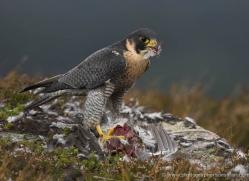 peregrine-falcon-037-northumberland-copyright-photographers-on-safari-com