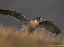 peregrine-falcon-073-northumberland-copyright-photographers-on-safari-com